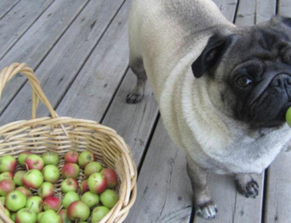 mela al giorno cane