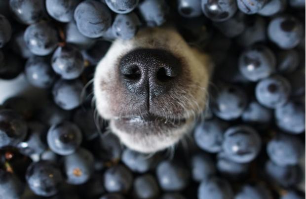 mirtilli ai cani