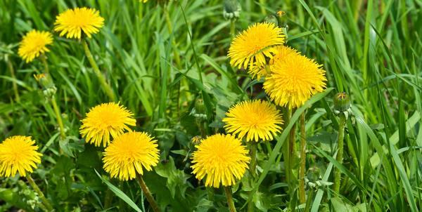 tarassaco erba per la ciotola dei cani