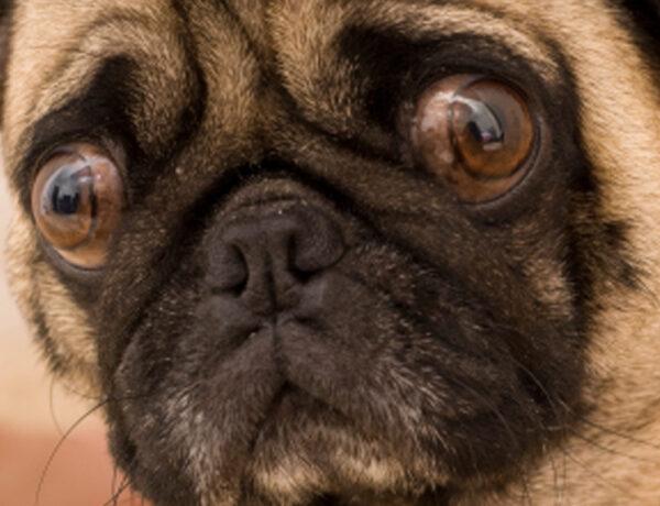 5 motivi per cui il carlino potrebbe non essere il cane adatto a te